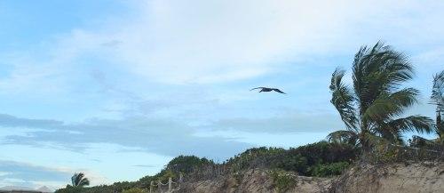 tci-pelican